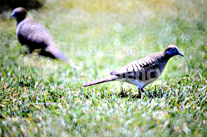 ハワイは鳥までのんびり? / ha01-49