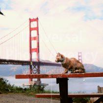 アメリカ サンフランシスコ ゴールデンゲートブリッジとねこ / sfcat01-104