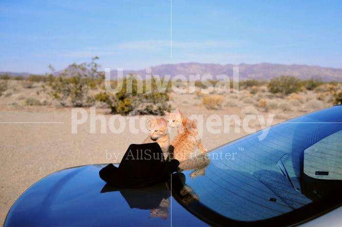 アメリカ サンフランシスコ 砂漠と帽子と車とねこ / sfcat01-111