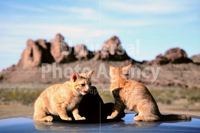 アメリカ 砂漠のねこ / sfcat01-113