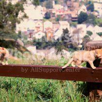 アメリカ サンフランシスコ 街並みをのぞむ柵の上のねこ / sfcat01-115