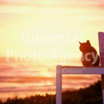 アメリカ サンフランシスコ いすから夕陽をみているねこ / sfcat01-11