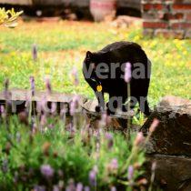 アメリカ サンフランシスコ お花の様子をうかがている黒猫 / sfcat01-126