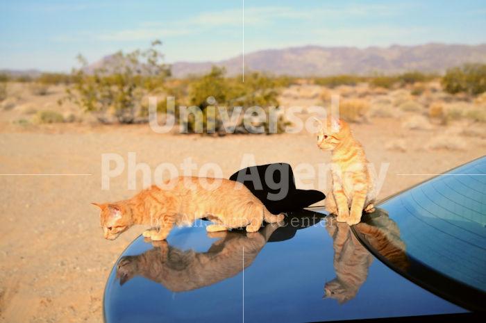 アメリカ サンフランシスコ 車の上の二匹のネコ / sfcat01-128