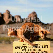 アメリカ 砂漠の箱の上の二匹のねこ / sfcat01-131