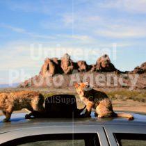 アメリカ サンフランシスコ 車の上の二匹のねこ / sfcat01-132