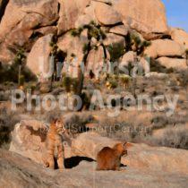 アメリカ 砂漠に同化するねこ / sfcat01-140