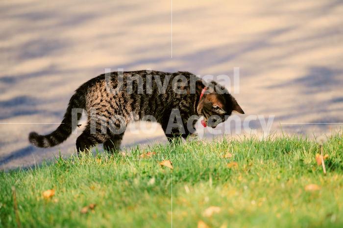 アメリカ サンフランシスコ 舌を出しながら下をみるネコ / sfcat01-156