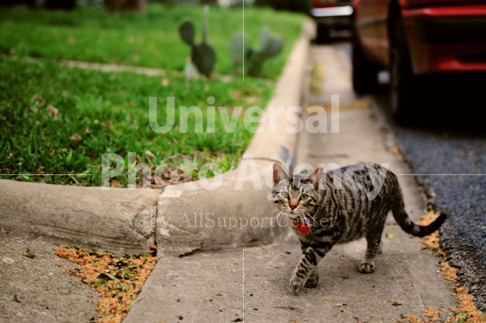 アメリカ サンフランシスコ こっそりお散歩中ねこ / sfcat01-161