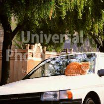 アメリカ サンフランシスコ 車の上のねこ / sfcat01-175