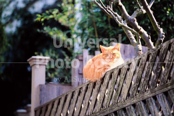 アメリカ サンフランシスコ 塀の上のねこ / sfcat01-186