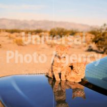 アメリカ サンフランシスコ 車の上の二匹のねこ / sfcat01-188