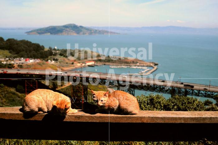 アメリカ サンフランシスコ 海をバックにする二匹のねこ / sfcat01-190