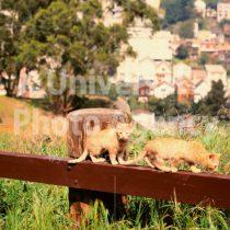 アメリカ サンフランシスコ 淵を慎重に移動中ねこ二匹 / sfcat01-191