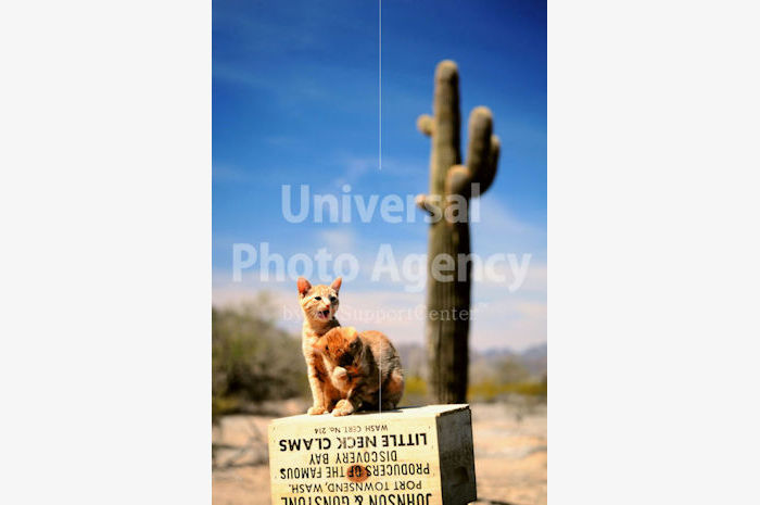 アメリカ 砂漠のねこ / sfcat01-1