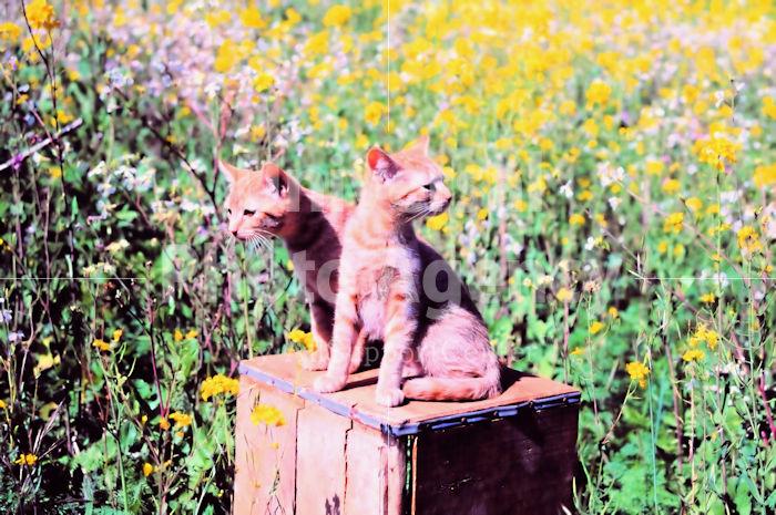 アメリカ サンフランシスコ お花畑とねこ / sfcat01-21