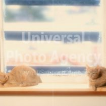 アメリカ サンフランシスコ 窓辺のねこ / sfcat01-25