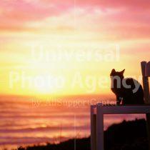 アメリカ サンフランシスコ いすから夕陽をみているねこ / sfcat01-26