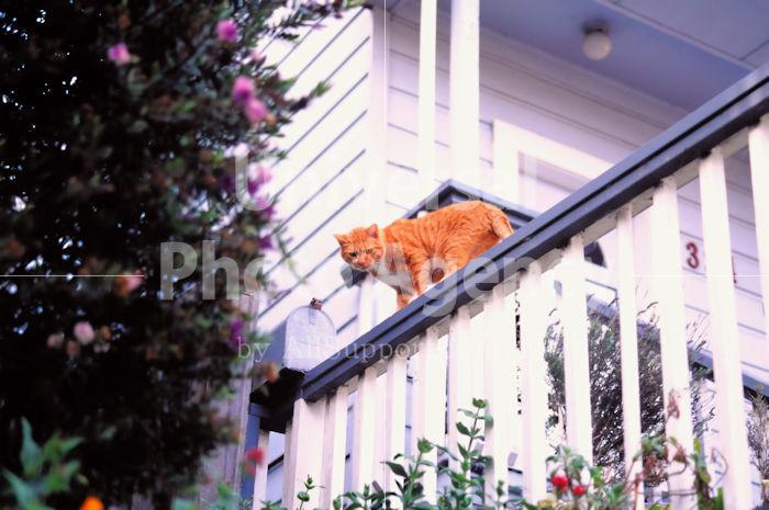 アメリカ サンフランシスコ テラスの上の猫 / sfcat01-31