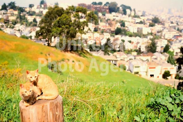 アメリカサンフランシスコ ねこ 丘からの風景をバックに / sfcat01-33