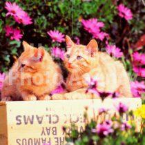 アメリカ サンフランシスコ 花とねこ / sfcat01-34