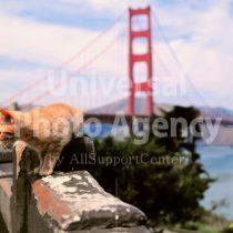 アメリカ サンフランシスコゴールデンゲートブリッジとねこ / sfcat01-36