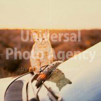 アメリカ サンフランシスコ 朝日と車とねこ / sfcat01-37