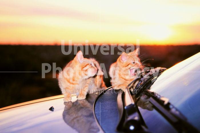アメリカ サンフランシスコ 朝日と車とねこ / sfcat01-38