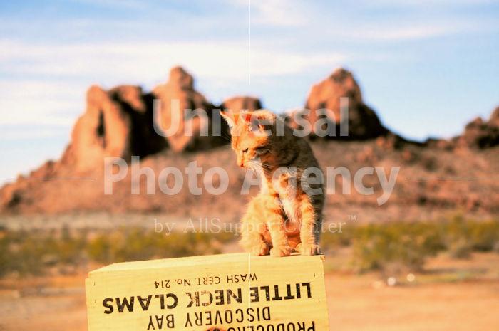 アメリカ 砂漠のねこ / sfcat01-42