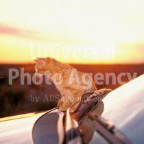 アメリカ サンフランシスコ 朝日と車とねこ / sfcat01-43