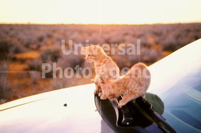 アメリカ サンフランシスコ 朝日と車とねこ / sfcat01-44