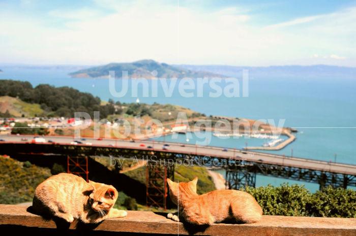 アメリカ サンフランシスコ  海をバックにくつろぐねこ / sfcat01-48