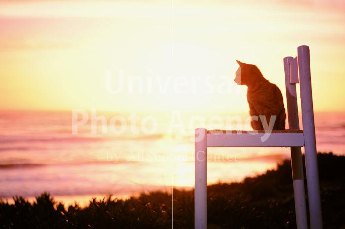 アメリカ サンフランシスコ いすから夕陽をみているねこ / sfcat01-50