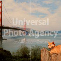 アメリカ サンフランシスコゴールデンゲートブリッジとねこ / sfcat01-61