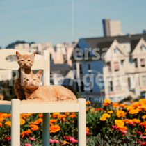 アメリカ サンフランシスコ 丘の上のお花と二匹のねこ / sfcat01-66