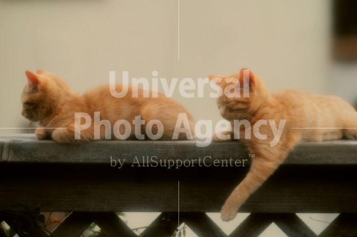 アメリカ サンフランシスコ 塀の上から獲物を狙うねこ / sfcat01-75