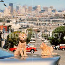 アメリカ サンフランシスコ 坂の上の車の二匹のねこ / sfcat01-83