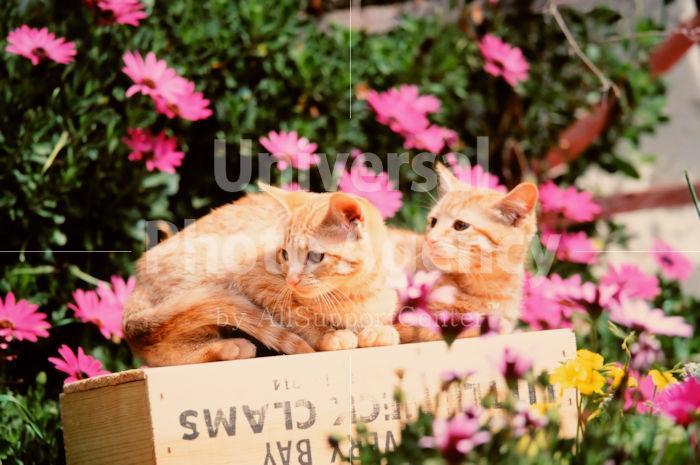 アメリカ サンフランシスコ 花とねこ / sfcat01-85