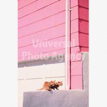 アメリカ サンフランシスコ ピンクハウスと二匹のネコ / sfcat01-87