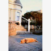 アメリカ サンフランシスコ 家の前でぐうたらねこ / sfcat01-99